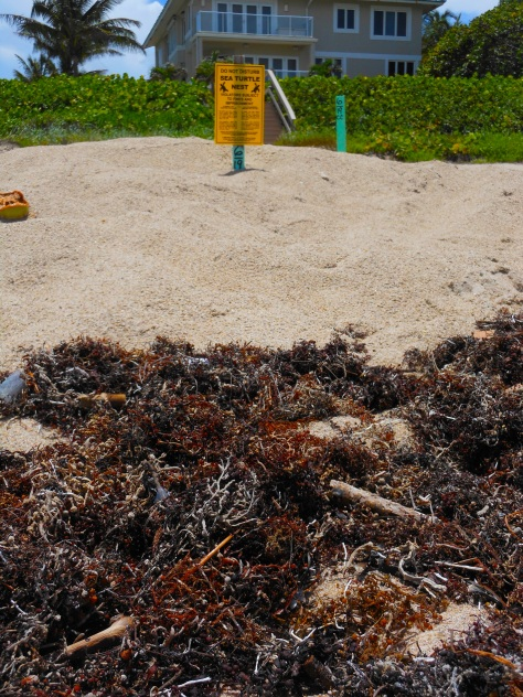 sea turtle nest pollution