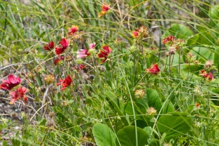 pompano beach indian blanket wildflower