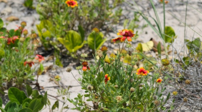 indian blanket flower wildflower beach
