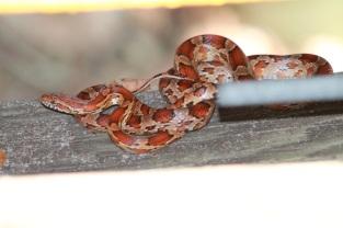 Red Rat Snake at MacArthur State Park