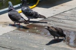 pigeons get water cute pigeon birds