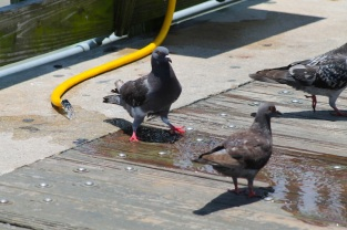 pigeons drink water
