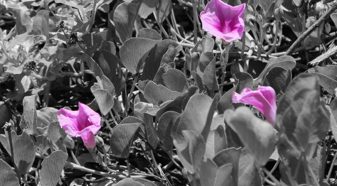 railroad vine beach morning glory