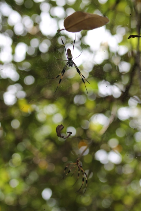 banana spider florida