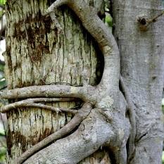 strangler fig tree gumbo limbo