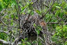 Bird's nest high in the trees above Gumbo Limbo
