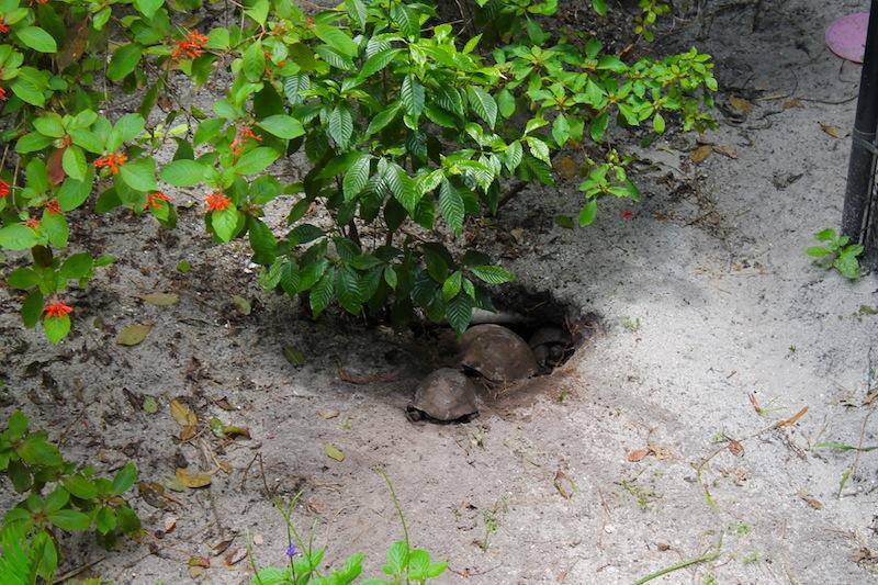 gopher tortoise exhibit gumbo limbo nature center