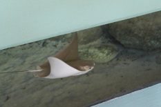 Stingray cruising by in the mangrove tank.