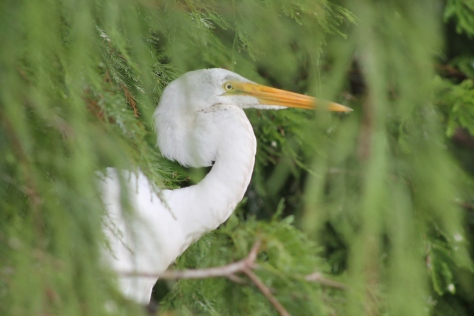 Egret relaxing