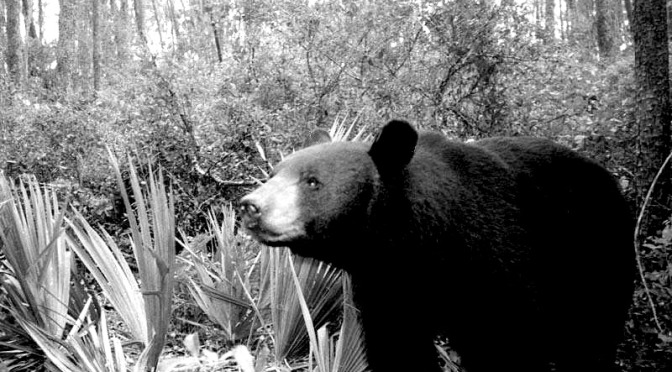 In Memory of the 295 Florida Black Bears
