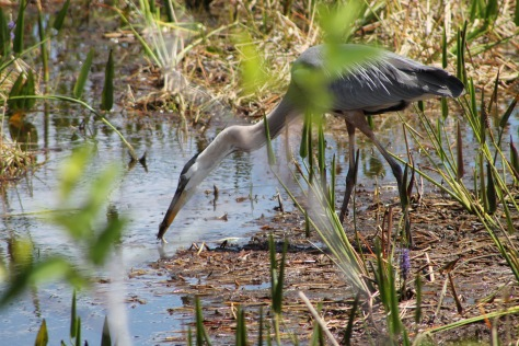 great blue heron the beach review blog florida beaches wildlifegreat blue heron the beach review blog florida beaches wildlife