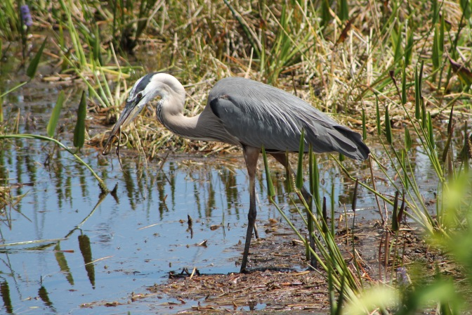 Great Blue Heron vs. Snake