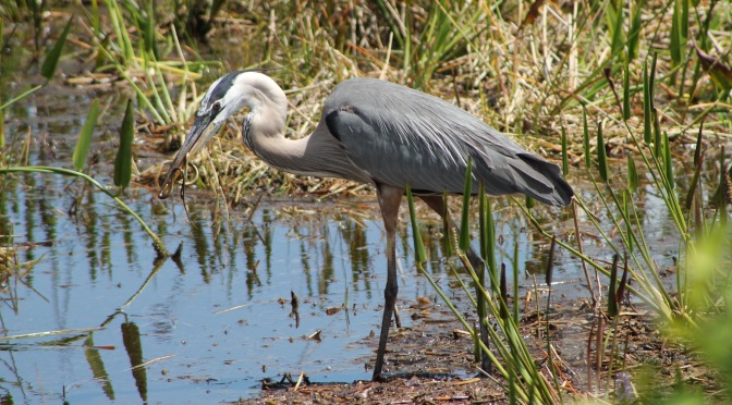 great blue heron the beach review blog florida beaches wildlife