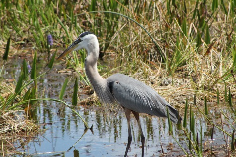 great blue heron the beach review blog florida beaches wildlife