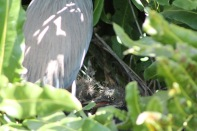 green heron chicks baby bird the beach review blog florida