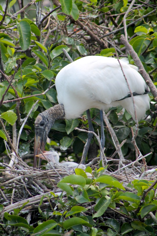 wood stork mom and chicks the beach review blog travel nature