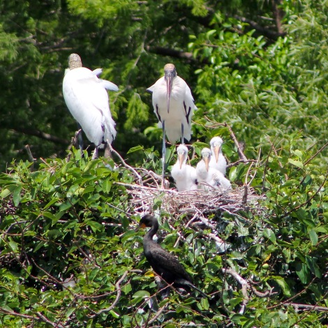 wood stork family the beach review beach travel nature blog